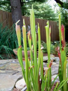 2012 pitcher plants